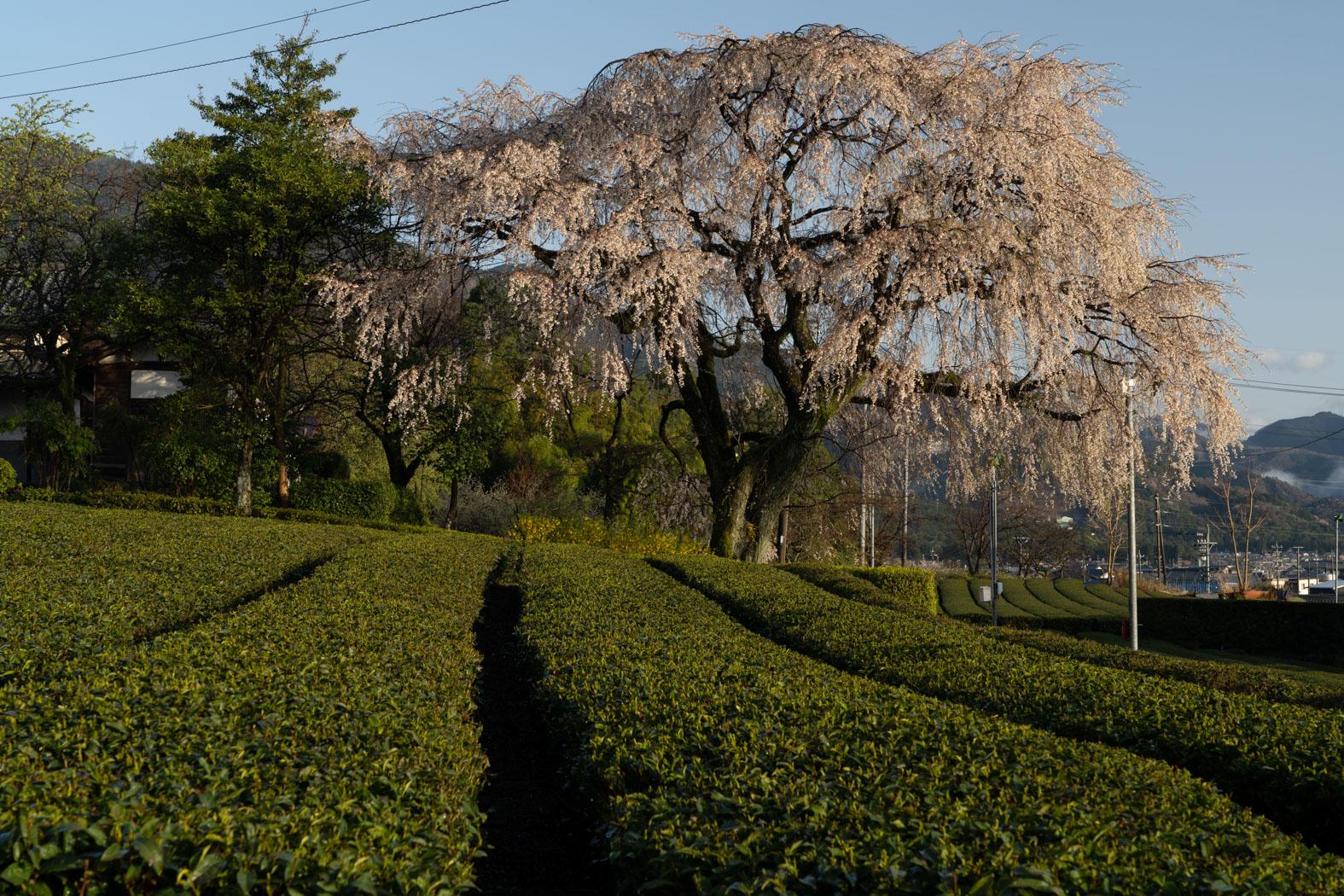 茶畑を飾る